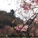 竹田の里のしだれ桜、地域の人とともに25年。